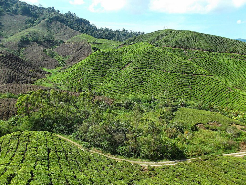 BOH Tea Plantation in the Cameron Highlands, Malaysia's Fruit Bowl