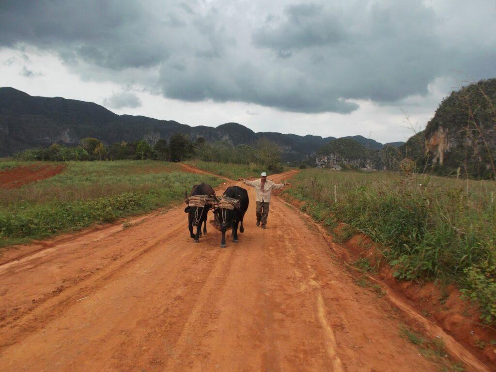 Man and oxen at Vinales, Cuba 's Rural Paradise