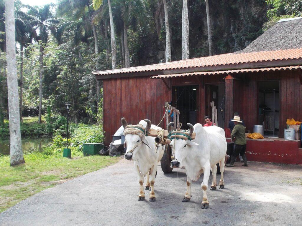Oxens at the Rancho San Vicente at Vinales, Cuba 's Rural Paradise