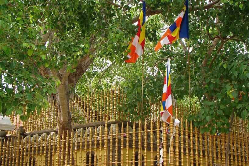 The holy bodhi tree in Anuradhapura.