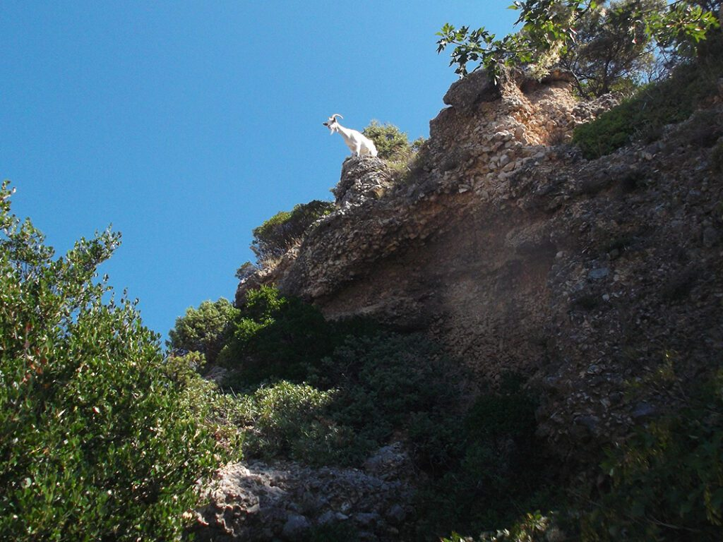 A goat above the beach of Lubenice on the island of Cres Istria Croatia