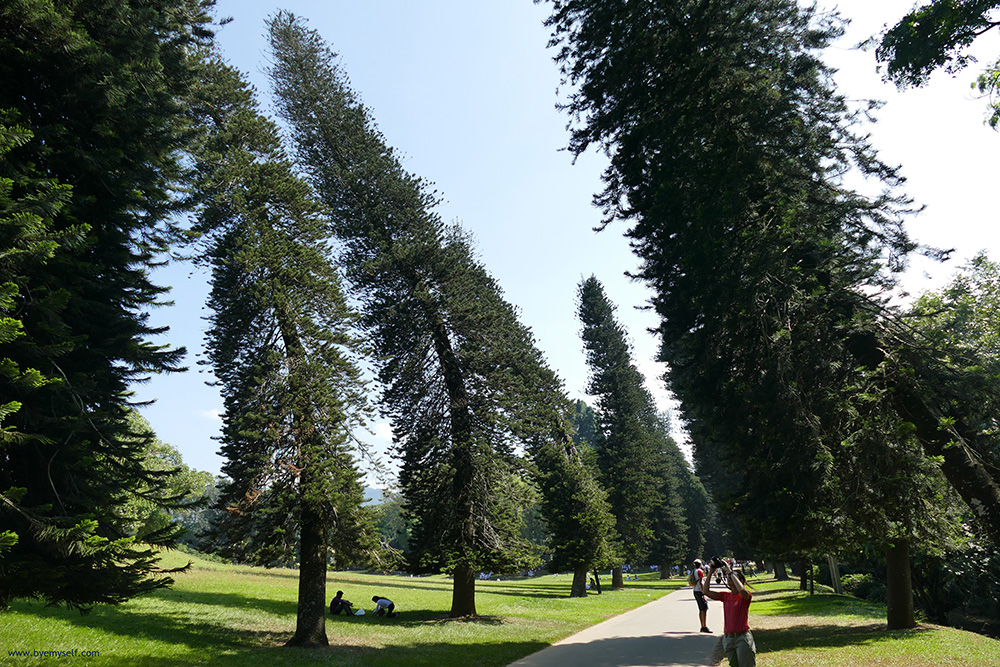 Cook's Pine Avenue at the Botanic Garden in Kandy