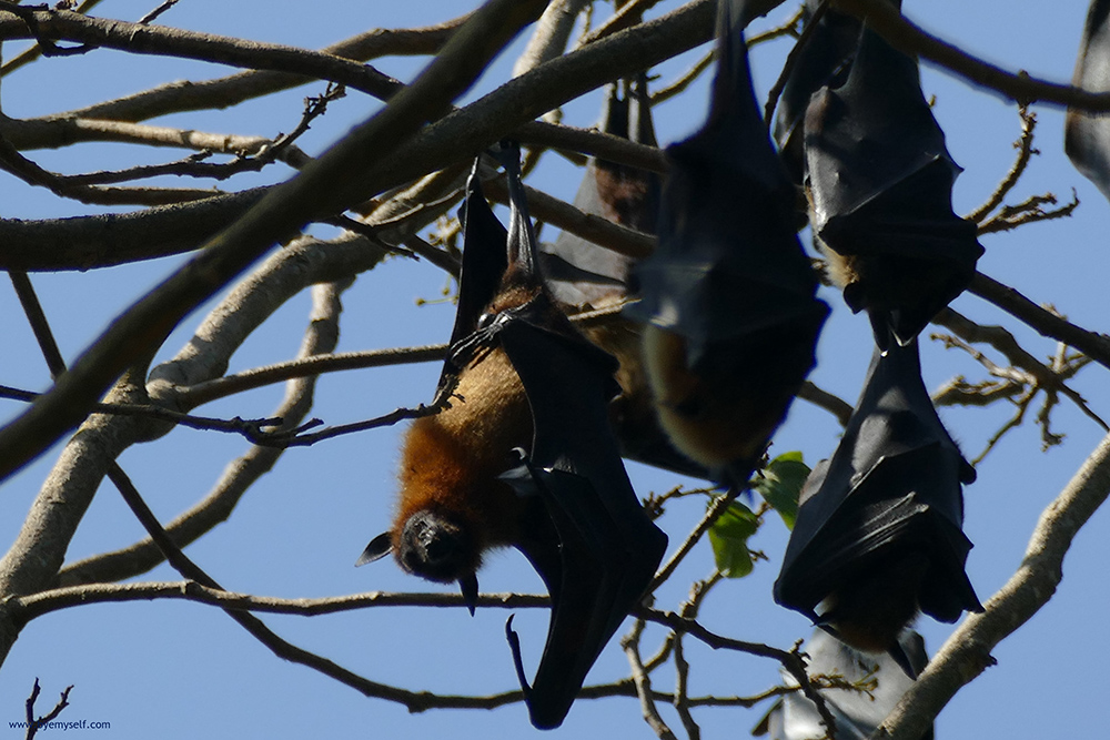Flying Foxes at the Botanic Garden in Kandy