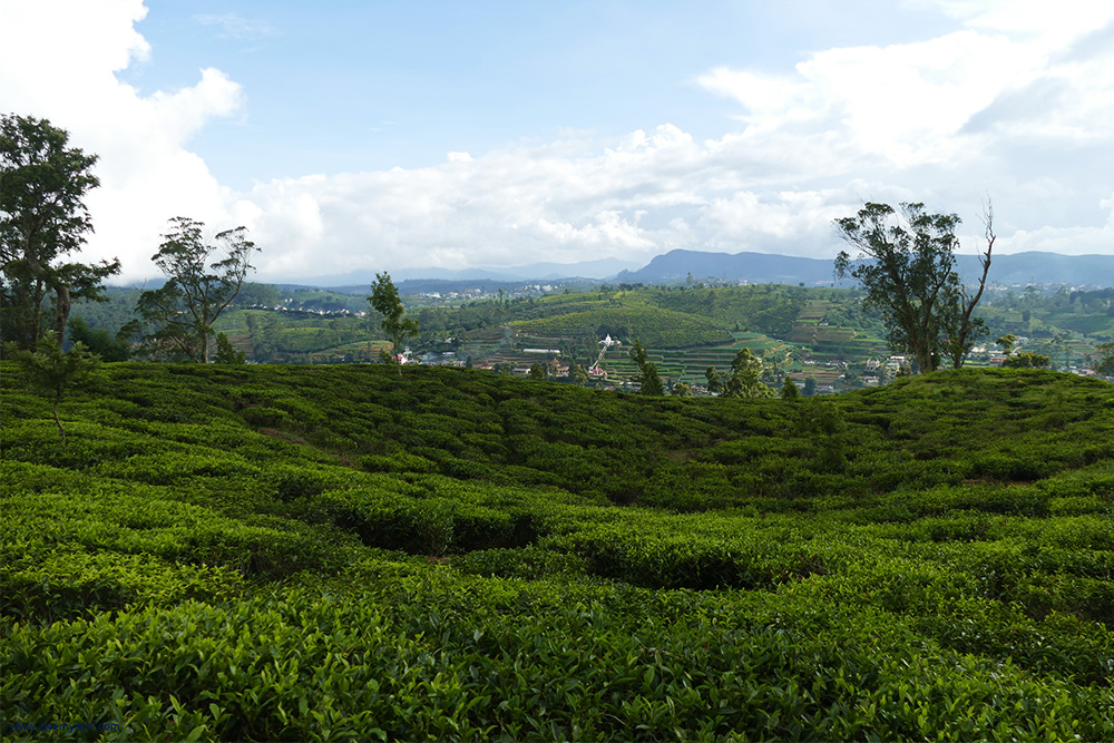 Tea plantations on the Highlands around NUWARA ELIYA and HAPUTALE