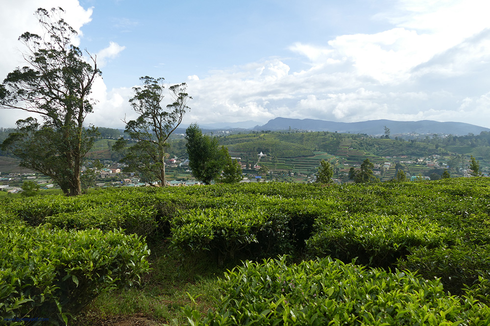 Tea Plantation Nuwara Eliya Sri Lanka