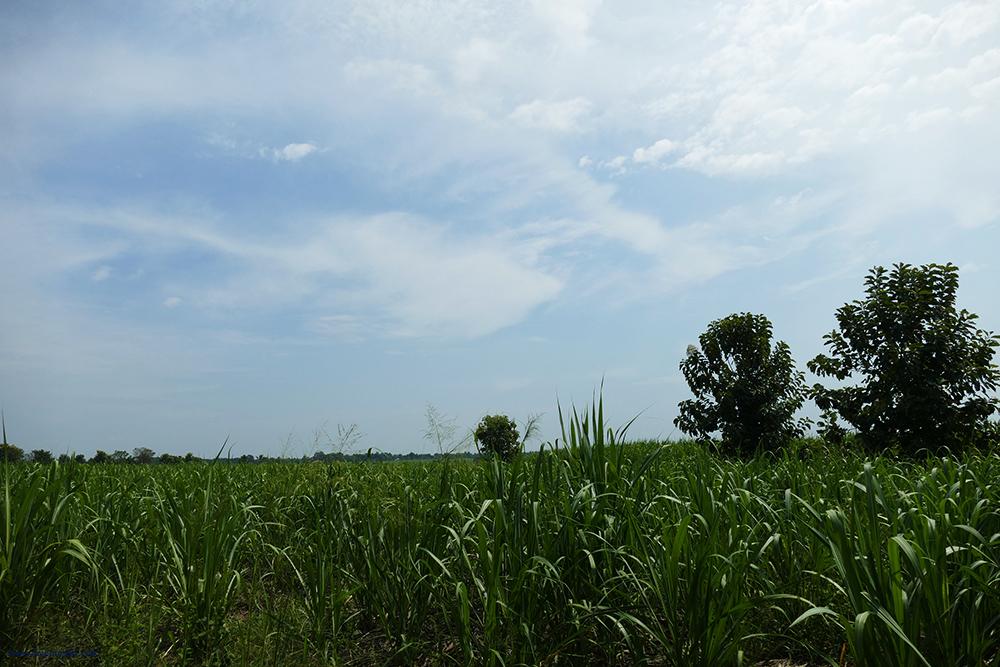 Sugarcane Field in Uduwalawe