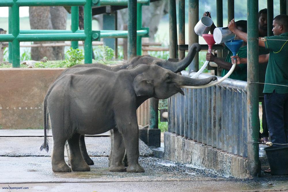 Baby elephants being fed milk through a funnel