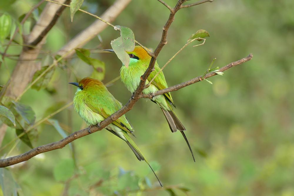 Bee-Eaters in Udawalawe