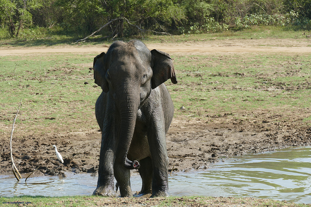 Solitary elephant taking a foot bath in Udawalawe
