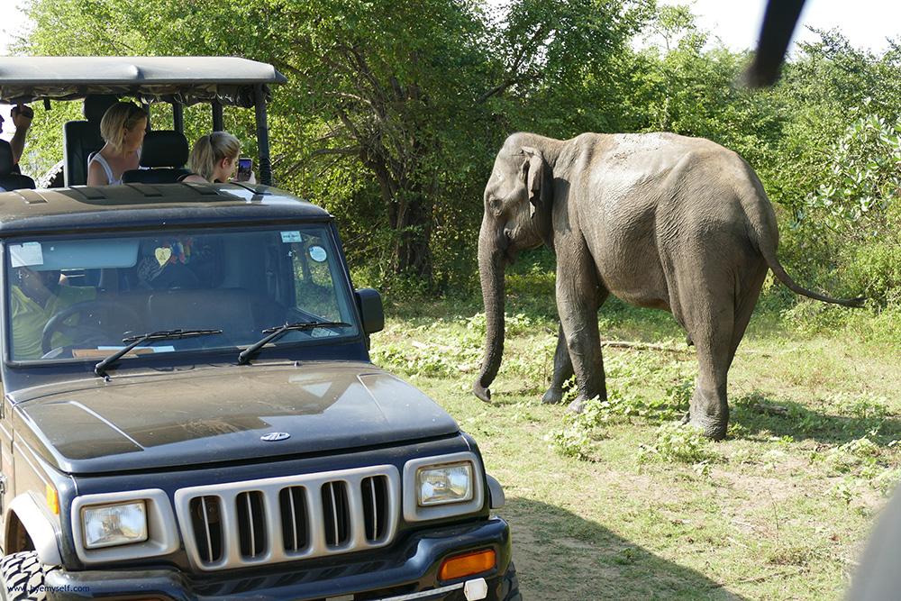 Elephant and Jeep at the Udawalawe Safari