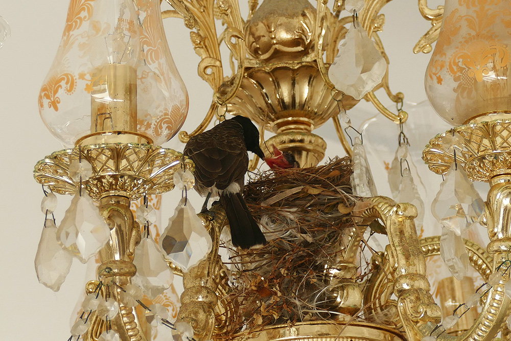 A bulbul feeding his baby in its nest in a Chandelier in Galle - Guide to the Highlights