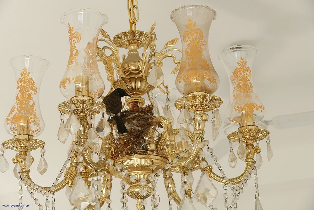 A bulbul and its nest in a Chandelier.