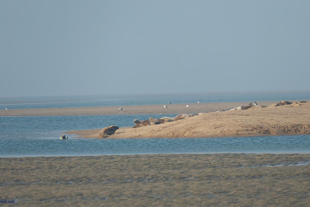 Sandbar with Gray Seals